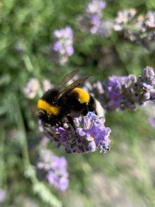 Hummel und Blüte - eine besondere Beziehung